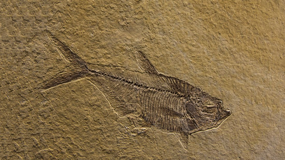 Chris Thaxter | Fossilised Fish 2