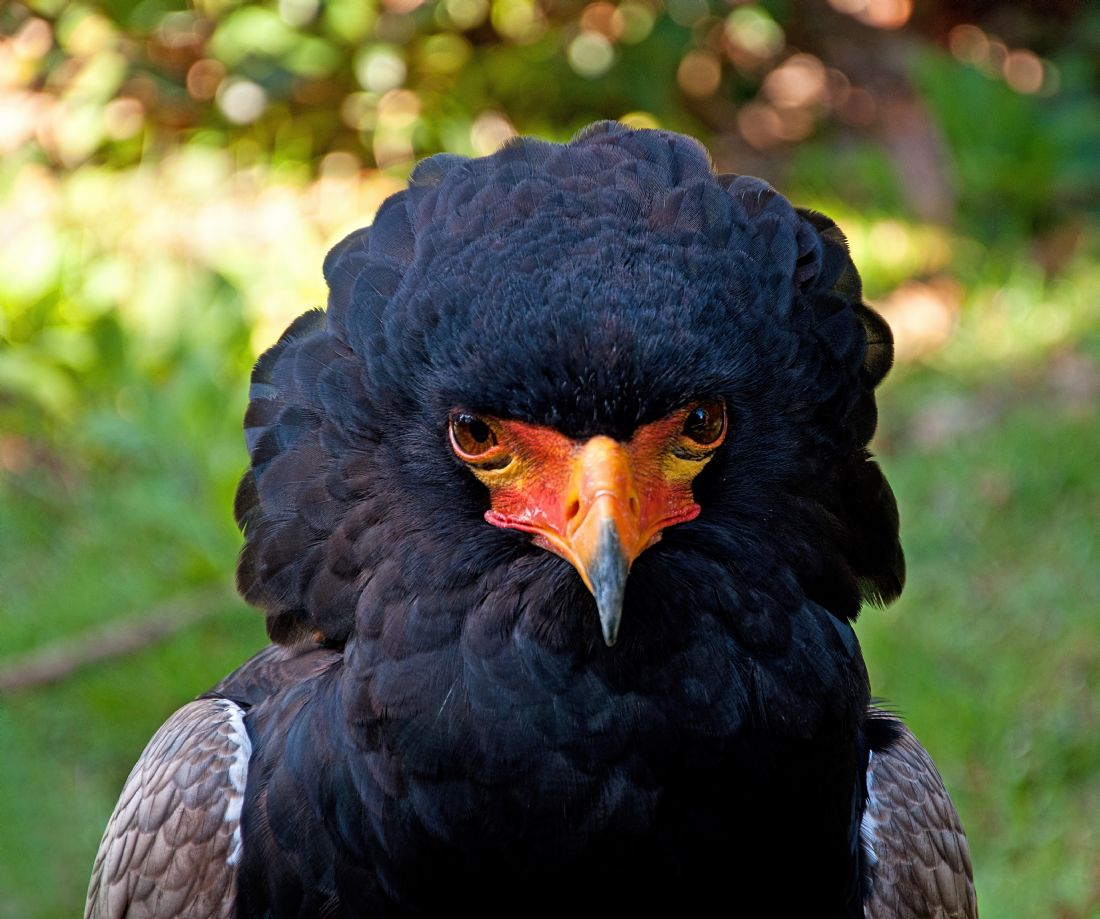 Chris Thaxter | Bateleur Eagle