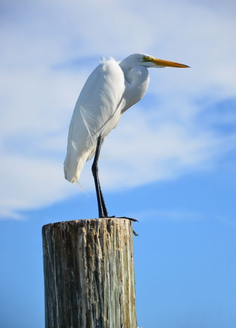 Chris Thaxter | Great White Egret