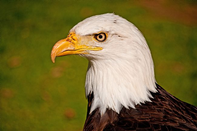 Chris Thaxter | Bald Eagle