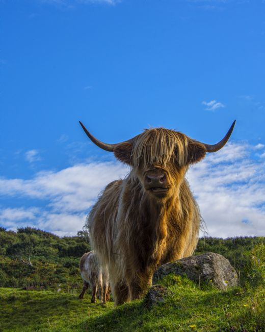 Chris Thaxter | Highland Cow