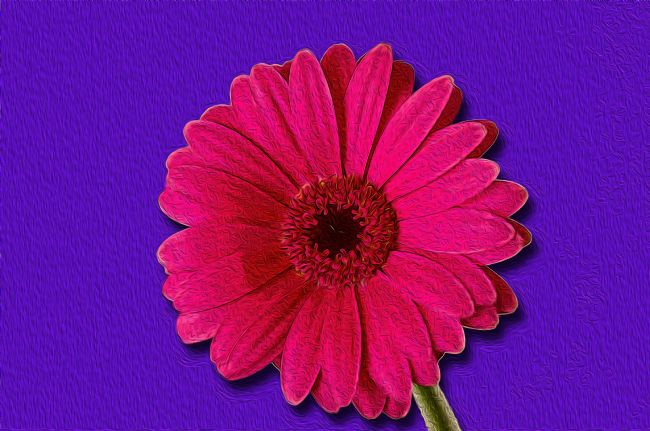 Chris Thaxter | Gerbera in Oils