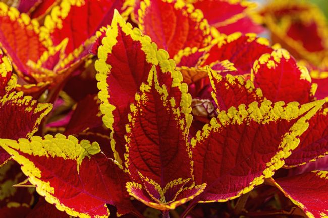 Chris Thaxter | Colourful Coleus