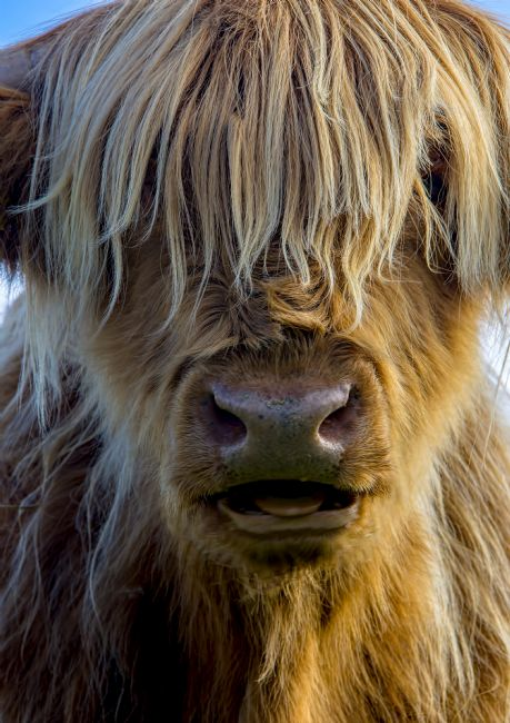 Chris Thaxter | Highland Cow 2