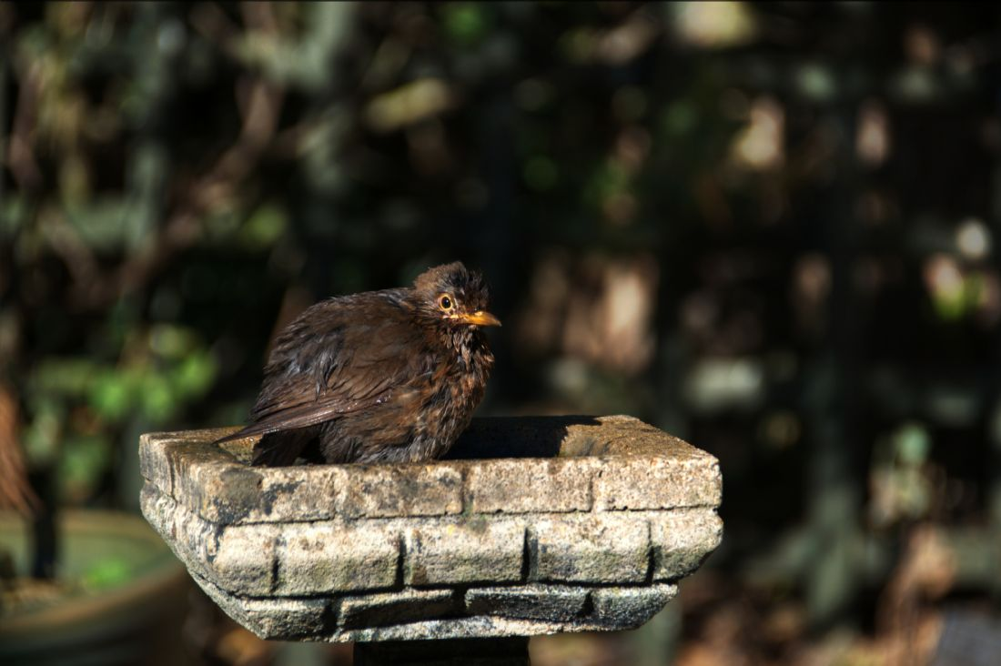Chris Day | Juvenile Blackbird