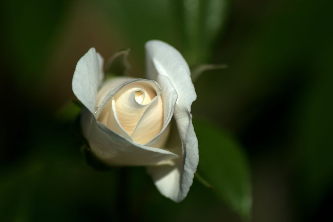 Chris Day | A white rose in my garden