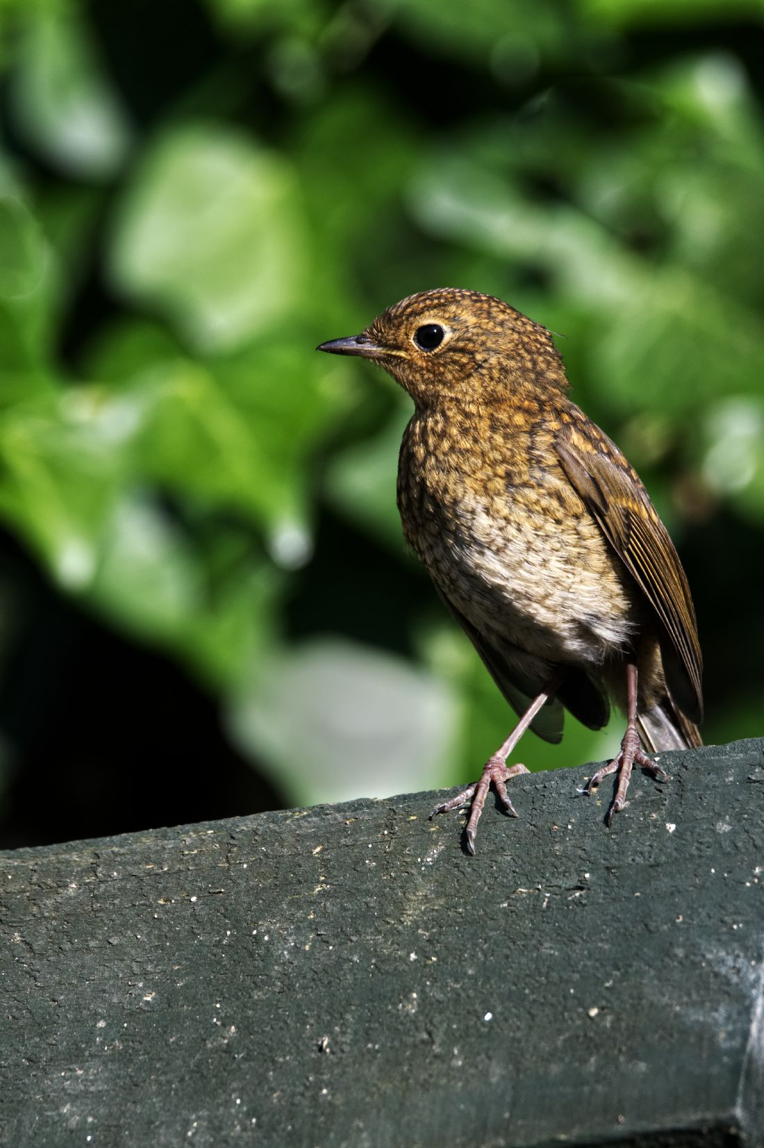 Chris Day | Juvenile Robin