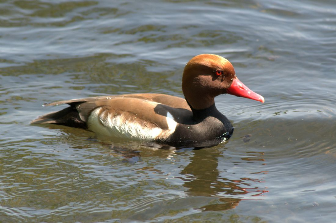 Chris Day | Red-Crested Pochard