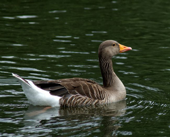 Chris Day | Greylag Goose