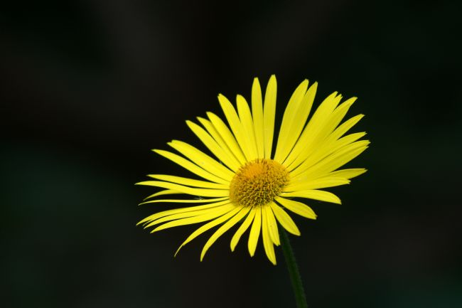 Chris Day | Yellow daisy
