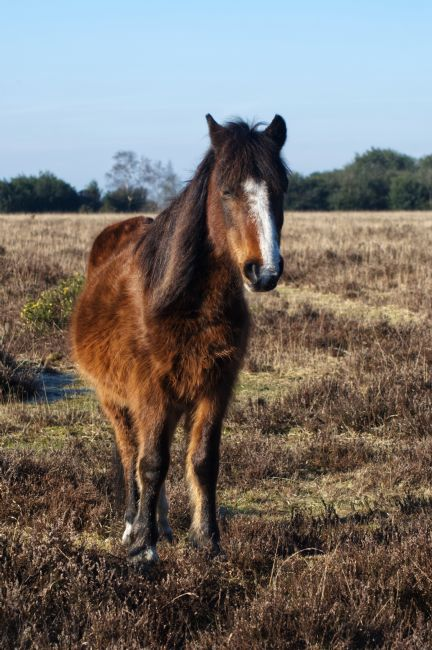 Chris Day | New Forest Pony