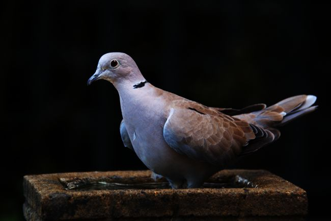 Chris Day | Collared Dove