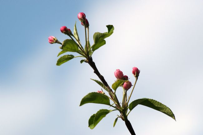 Chris Day | Apple Blossom