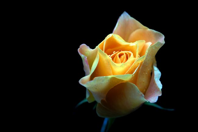 Chris Day | Yellow Rose