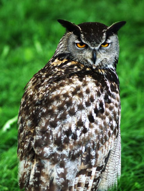 Chris Day | Eagle Owl
