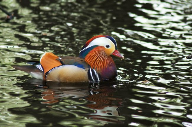Chris Day | Mandarin Duck