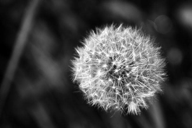 Chris Day | Dandelion Seed Head