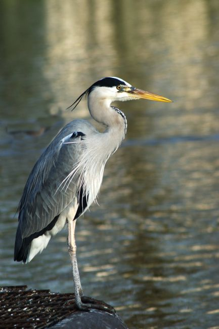 Chris Day | Grey Heron