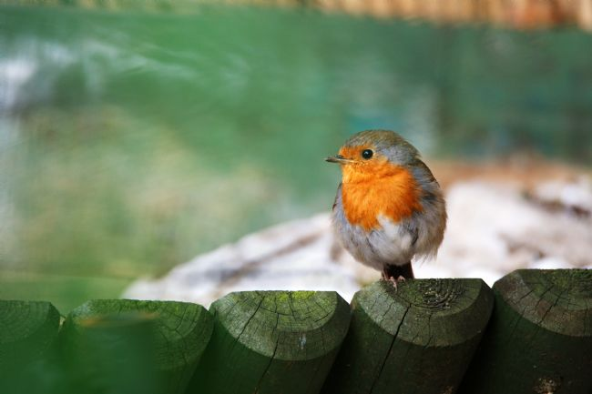 Chris Day | Young Robin Redbreast