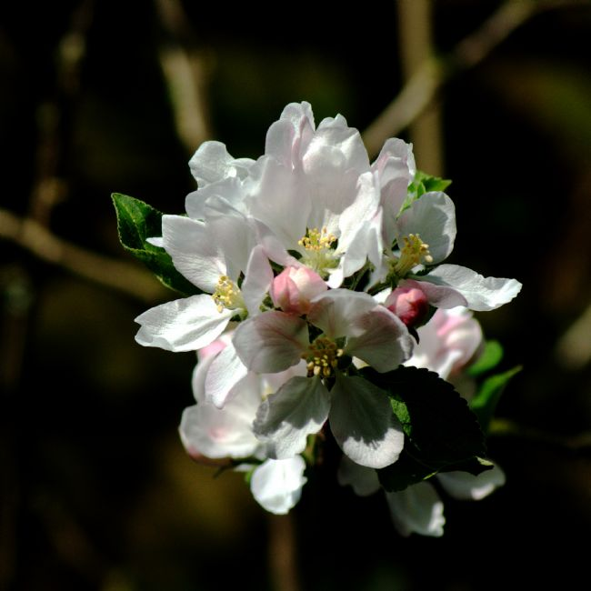 Chris Day | Apple Blossom 3