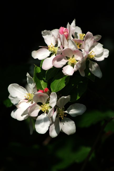 Chris Day | Apple Blossom 4