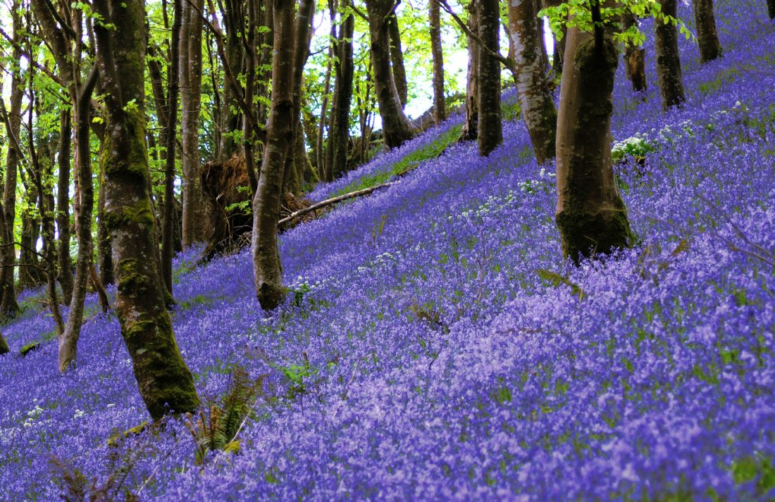 Rosie Spooner | Bluebell Wood on a hill near Looe in Cornwall.