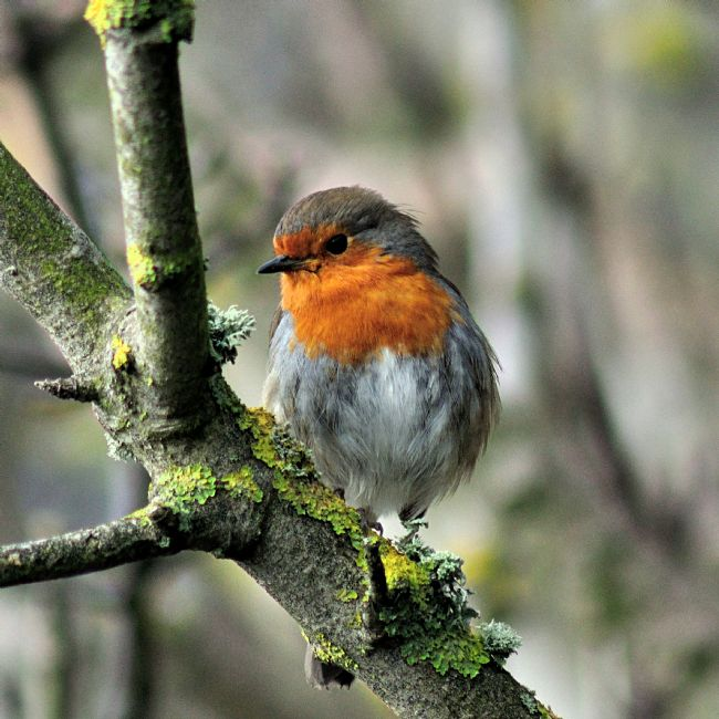 Rosie Spooner | Robin on a lichen covered  branch
