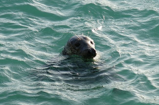 Rosie Spooner | A seal at St Ives in Cornwall
