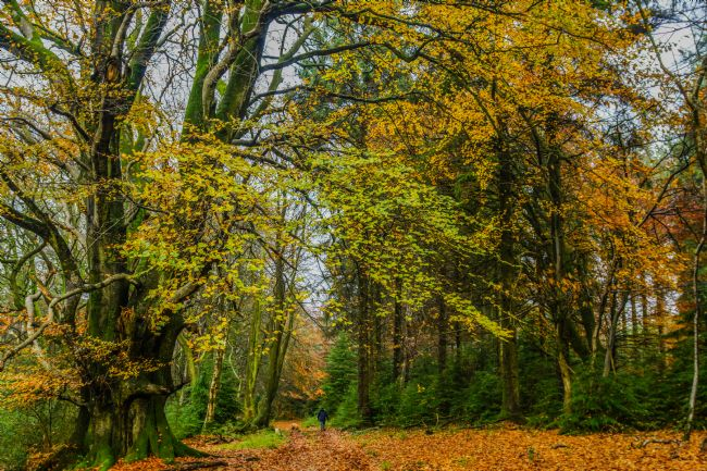 Frank Etchells | Autumn In Little and Greater Coombe Woods
