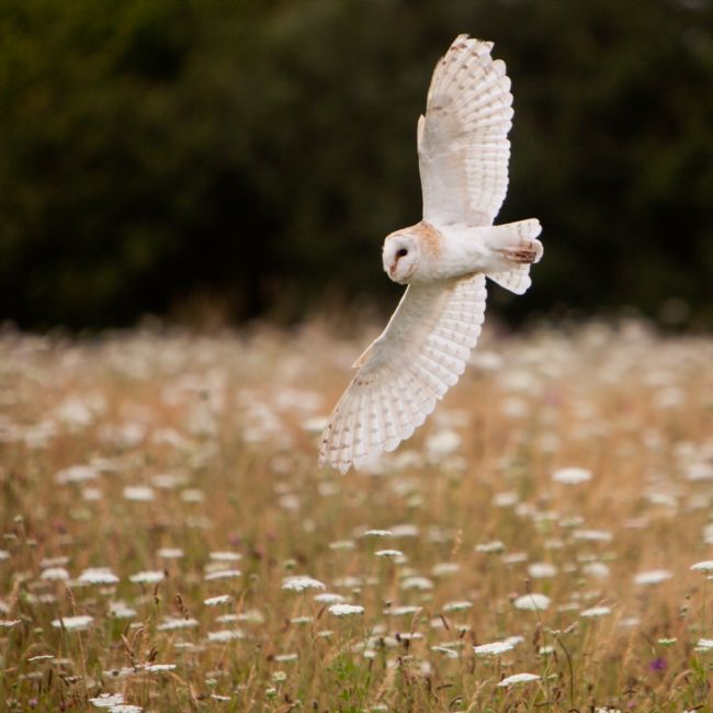 Karl Thompson | Barn Owl over Meadow