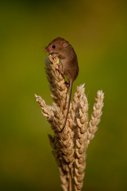 Karl Thompson | Harvest Mouse 1