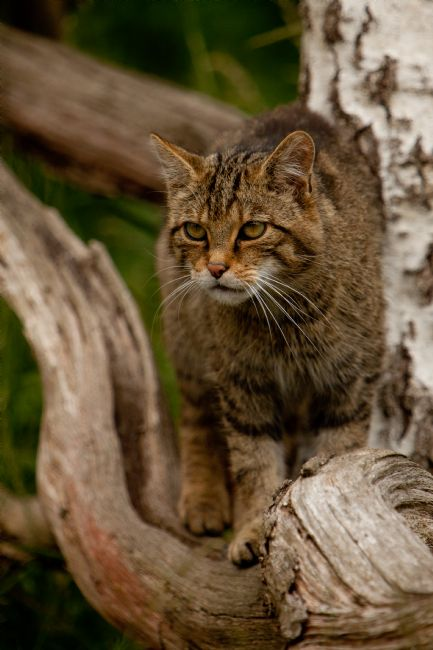 Karl Thompson | Scottish Wildcat
