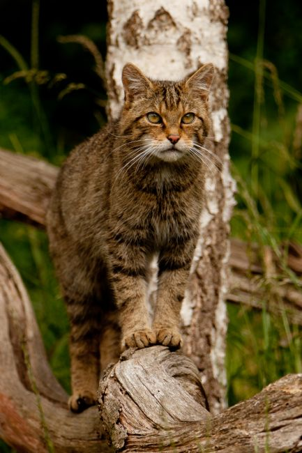 Karl Thompson |  Scottish Wildcat 2