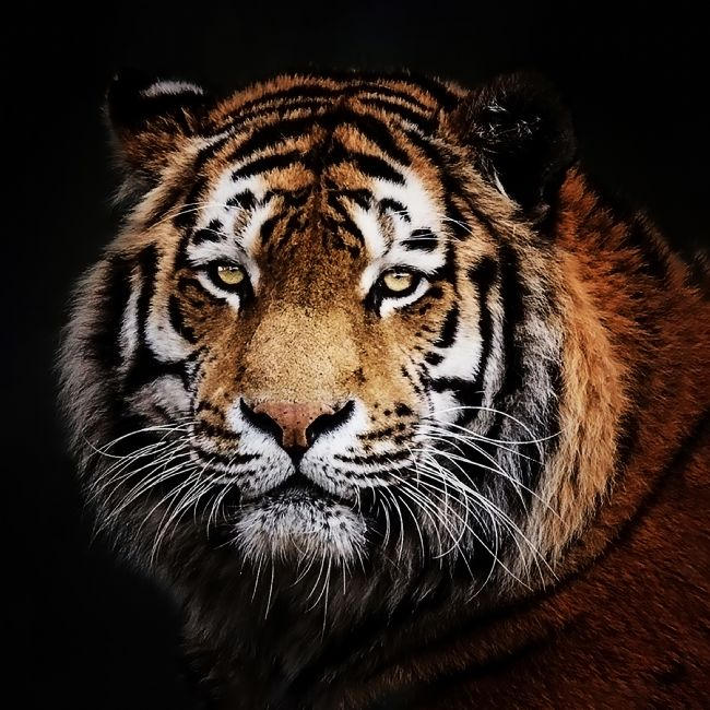 Jennifer Higgs | A Tiger's Gaze