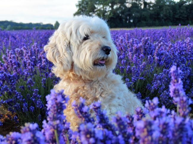 Bozena Thompson | A cockapoo in lavender