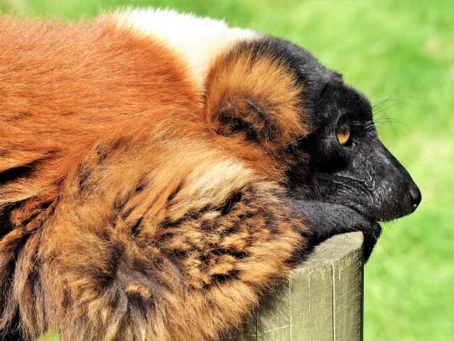 Bozena Thompson | Red Ruffed Lemur
