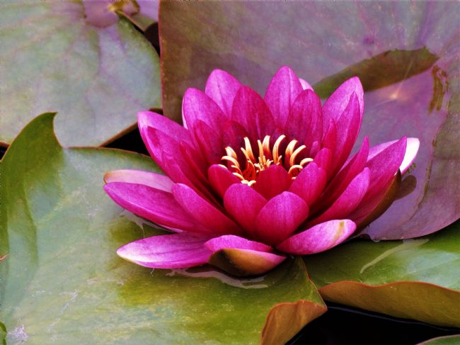 Bozena Thompson | Pink Water Lily