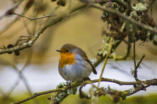 antony atkinson | Little Robin Red Breast