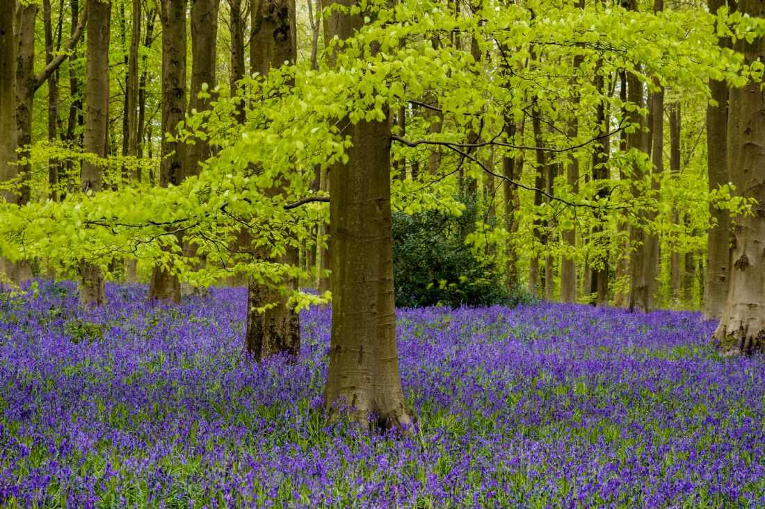 Phil Wareham | West Woods Bluebells.jpg