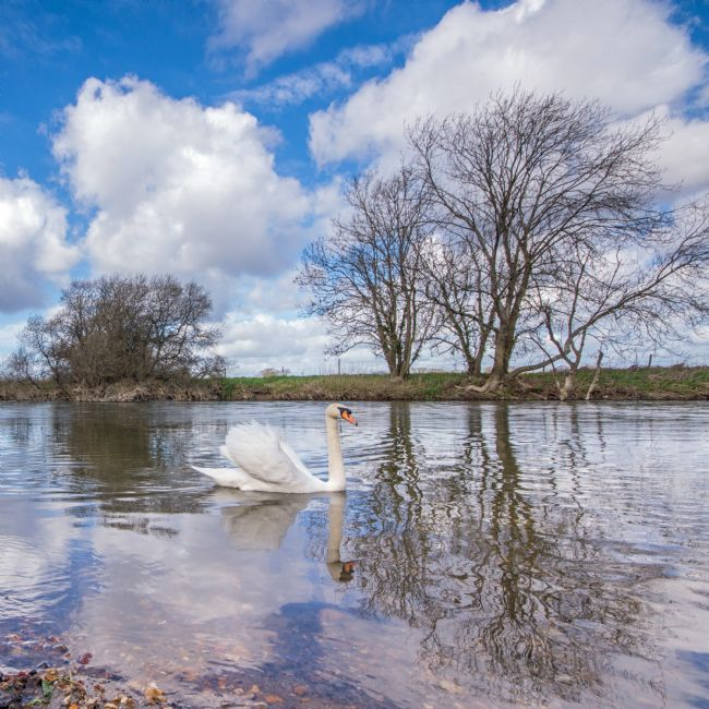 Phil Wareham | Swan on the Stour