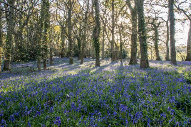 Phil Wareham | Bluebell Woods