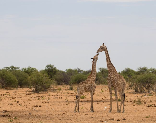 Hazel Wright | Giraffes in Namibia