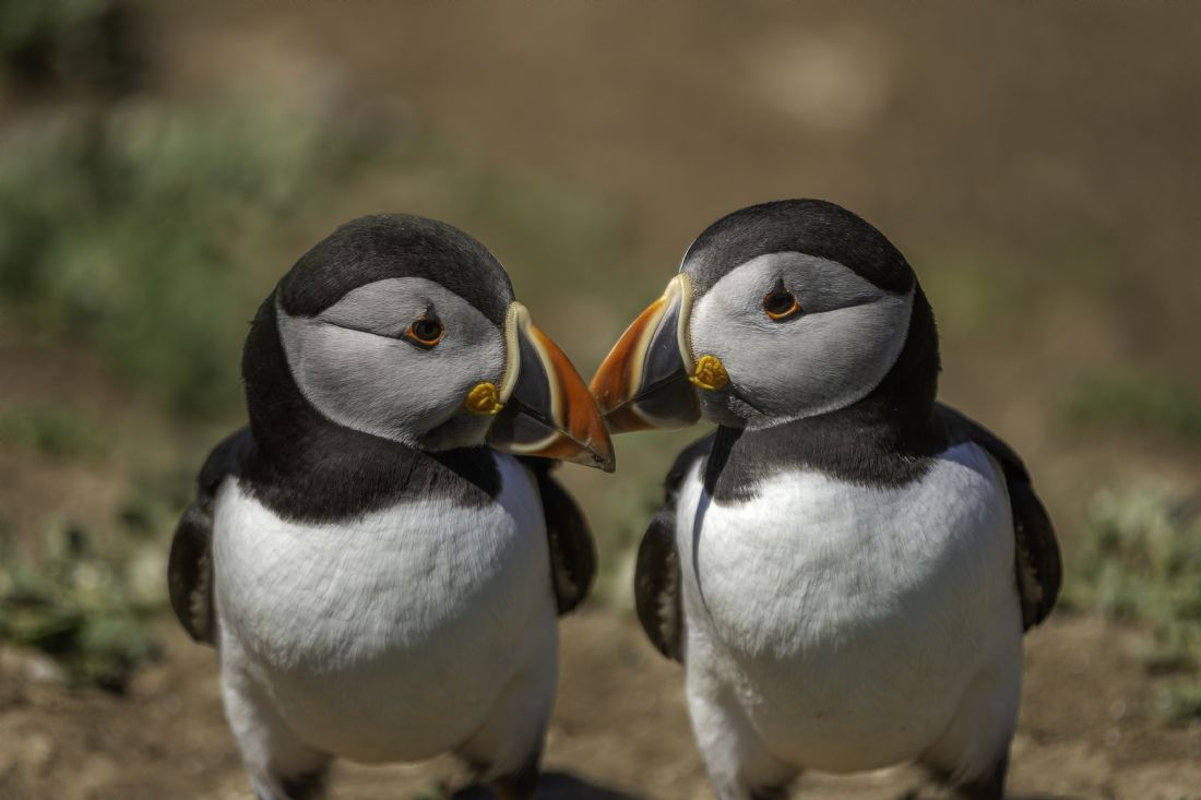 Pam Sargeant | Puffins