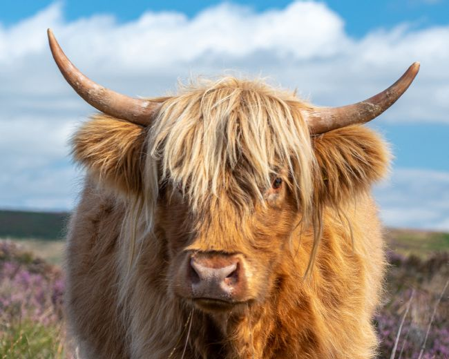 Pam Sargeant | Highland Cow Face