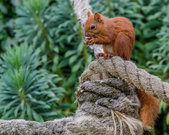 Pam Sargeant | Red Squirrel