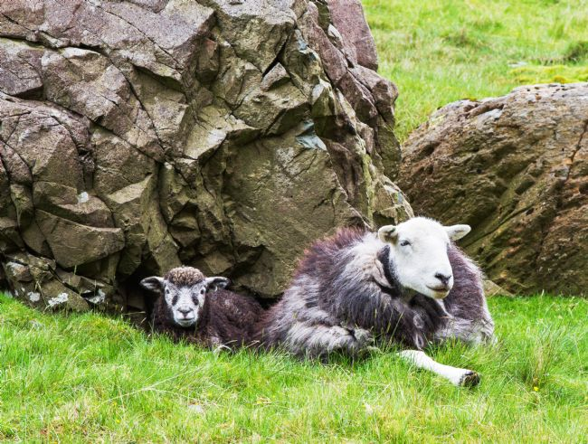 Pauline  Tims | Herdwick Sheep