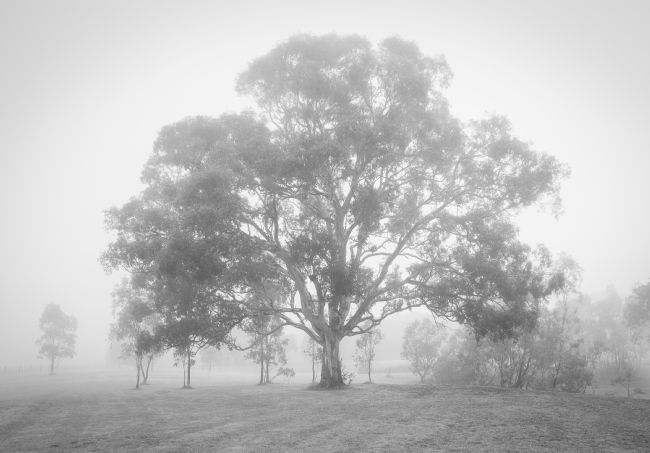 pauline tims | Gum Tree in the mist