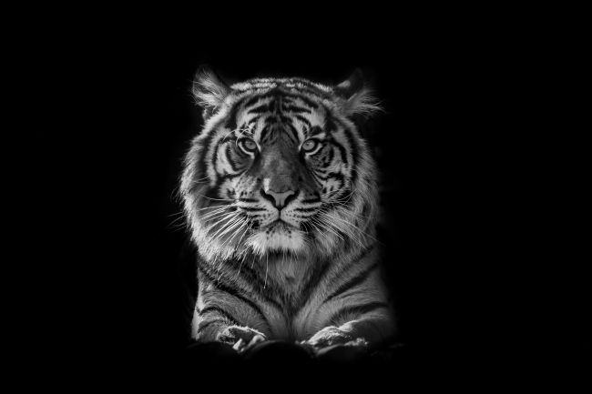 Niels Richards | Tiger B&W