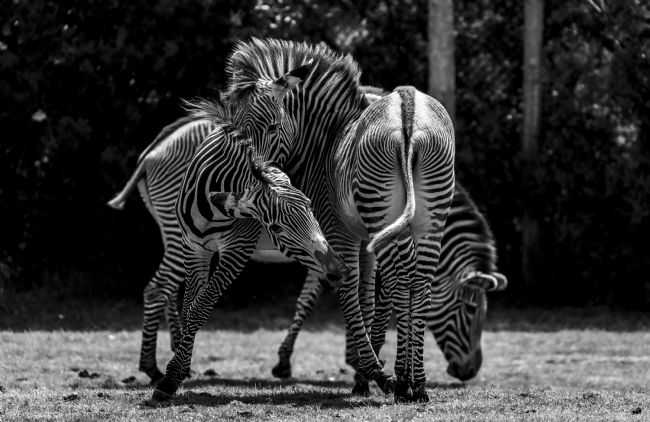 Niels Richards | Zebra's Playing