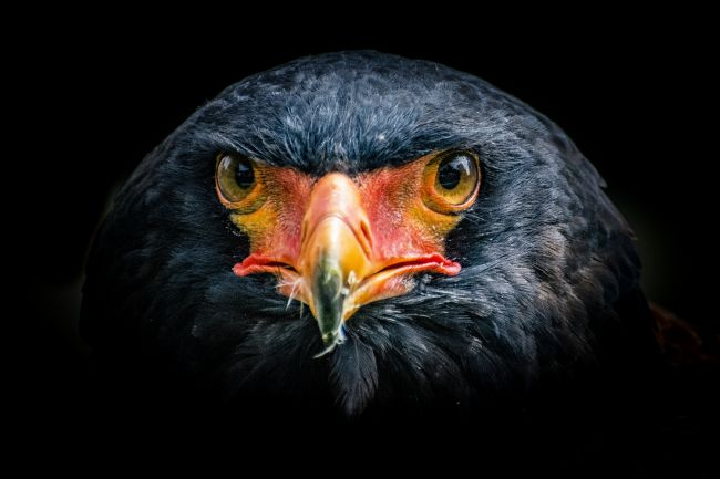 Niels Richards | Bateleur Eagle